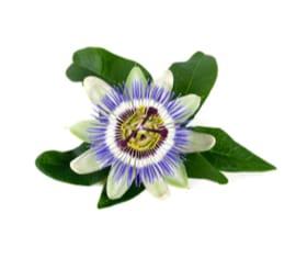 Extracto Seco de Pasiflora